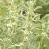 Common Horehound